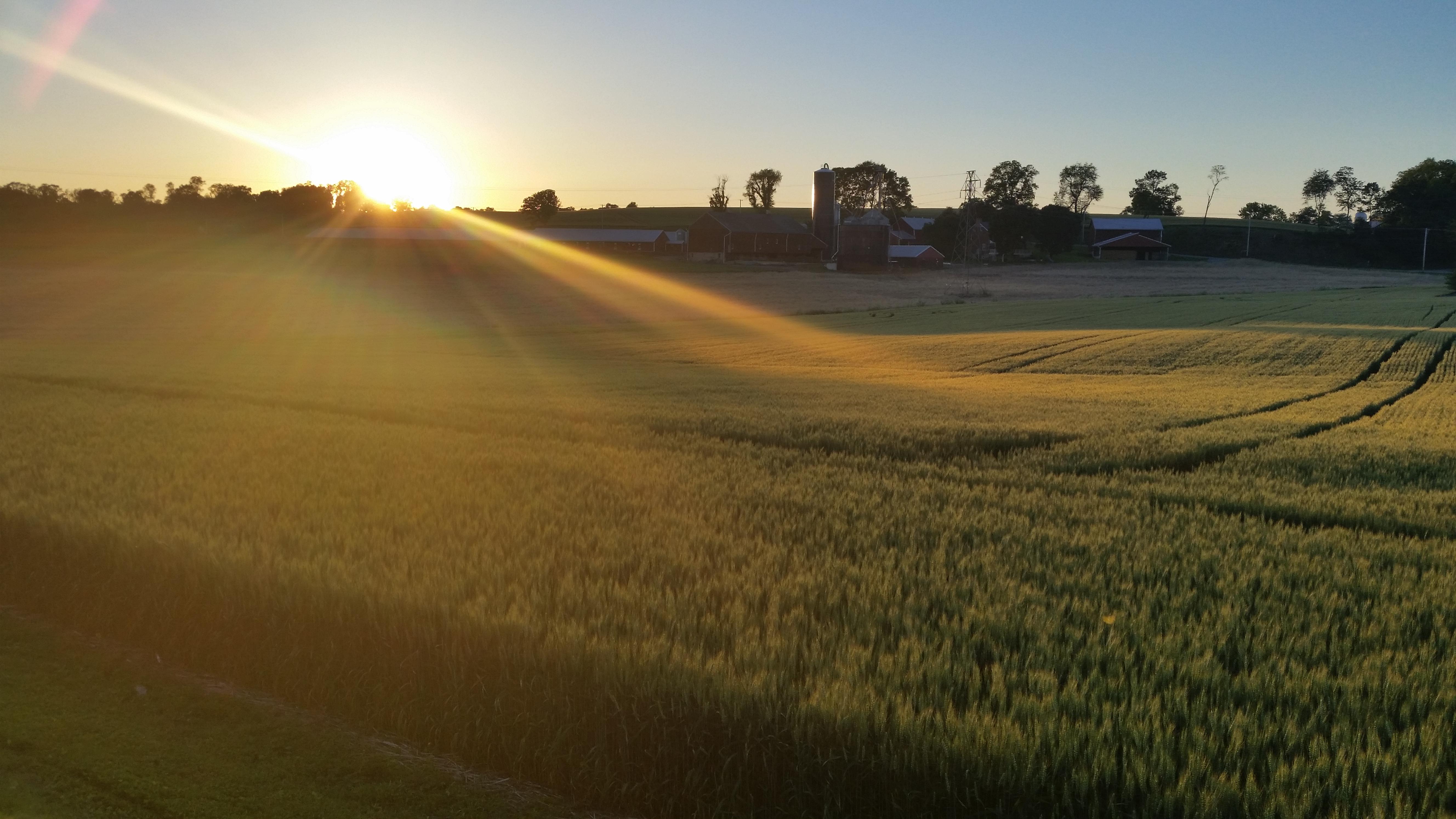 Wheat field 2017